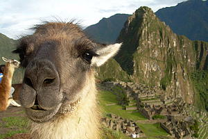 Alpaca at Machu Picchu by Katy Fiedler