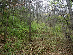 Westside Ravine Before Buckthorn Blitz