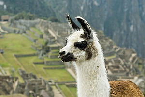 "A llama (Lama Glama) in front of Machu Picchu, Peru, by Alexandre Buisse, from Wikimedia Commons<a href=""/reason/images/338304_orig.jpg"" title=""High res"">∝</a>"