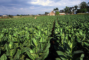"A tobacco field in Pinar del Rio, Cuba; by Henryk Kotowski, from Wikimedia Commons<a href=""/reason/images/338559_orig.jpg"" title=""High res"">∝</a>"