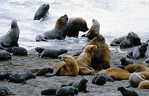 "South American sea lions (Otaria flavescens), Peninsula de Valdes, Argentina; by Reinhard Jahn, from Wikimedia Commons<a href=""/reason/images/338617_orig.jpg"" title=""High res"">∝</a>"