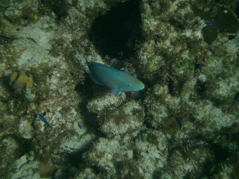 Queen Parrotfish leaving the cleaning station at Snapshot Reef