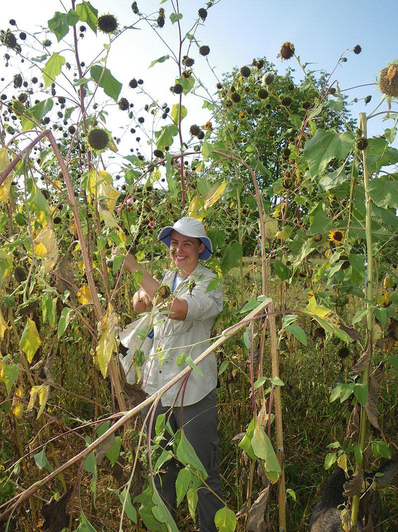 Jennifer Dechaine '03 harvests sunflowers in one of Luther's natural areas. Dechaine and associate professor of biology Eric Baack (inset) have collaborated on sunflower research since the spring of 2008.