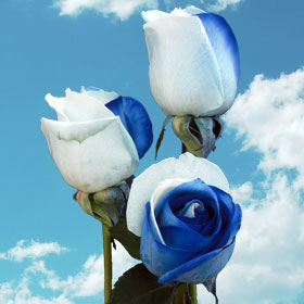 Blue & White Rainbow Rose