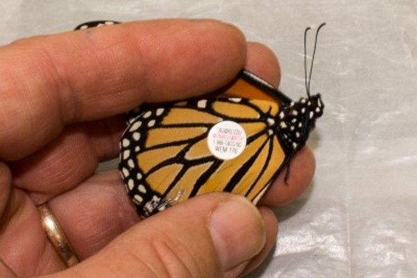 Migration tag on monarch butterfly