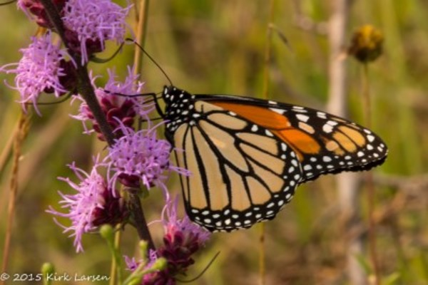 Monarch butterfly in Anderson Prairie