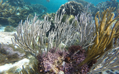 Sea rod coral in the foreground and elkhorn coral in the background seen at Hol Chan.