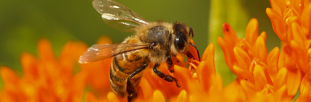 Honey bee pollinating butterfly weed