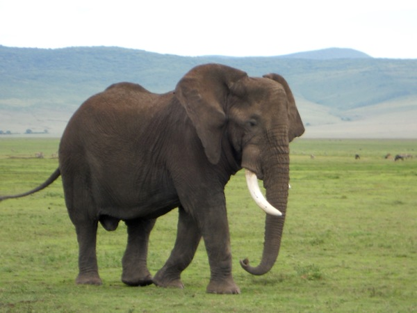 "One of the many elephants seen in the Ngorongoro Crater.<a href=""/reason/images/675147_orig.jpg"" title=""High res"">∝</a>"