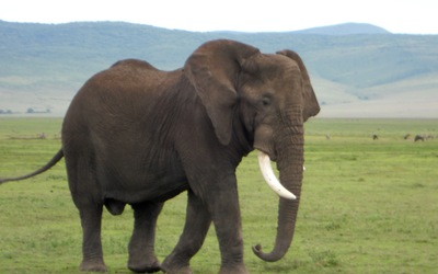 One of the many elephants seen in the Ngorongoro Crater.