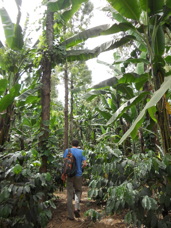 "The coffee trees, shaded by three different banana trees.<a href=""/reason/images/675153_orig.jpg"" title=""High res"">∝</a>"