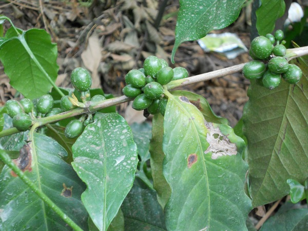 "The coffee beens are harvested three times within one season. They turn red when they are ripe.<a href=""/reason/images/675155_orig.jpg"" title=""High res"">∝</a>"