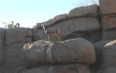 "Pronghorn at the ""Zoo-seum"""