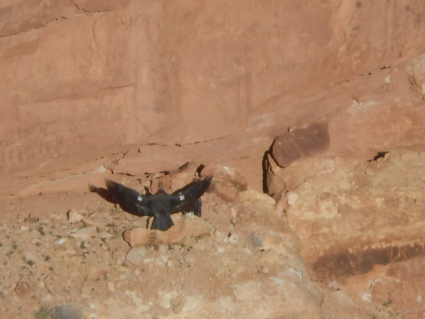 "A California Condor spreads his wings<a href=""/reason/images/521246_orig.jpg"" title=""High res"">&prop;</a>"