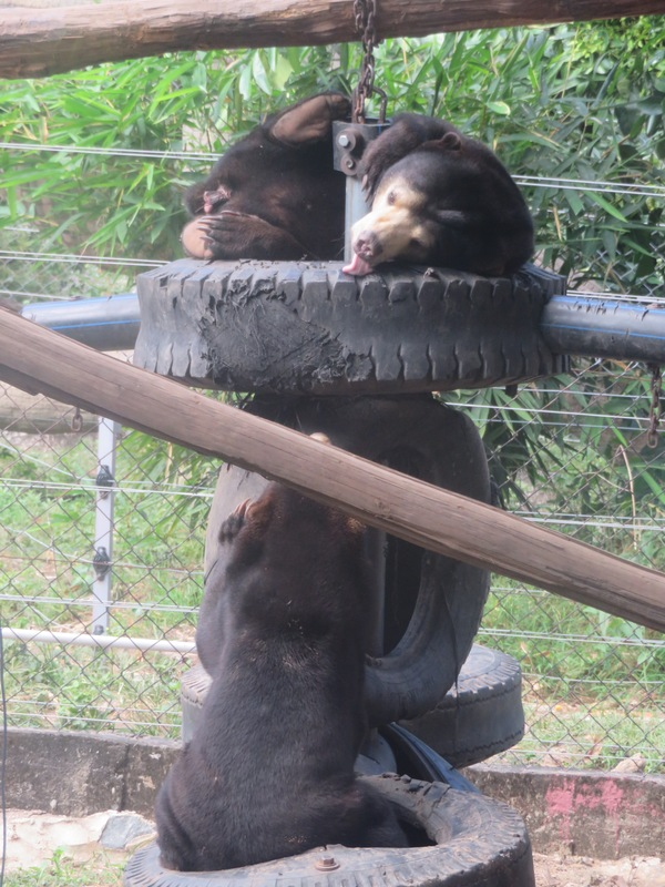 "The Sun Bears were playing around on their tire swing.<a href=""/reason/images/739268_orig.jpg"" title=""High res"">∝</a>"