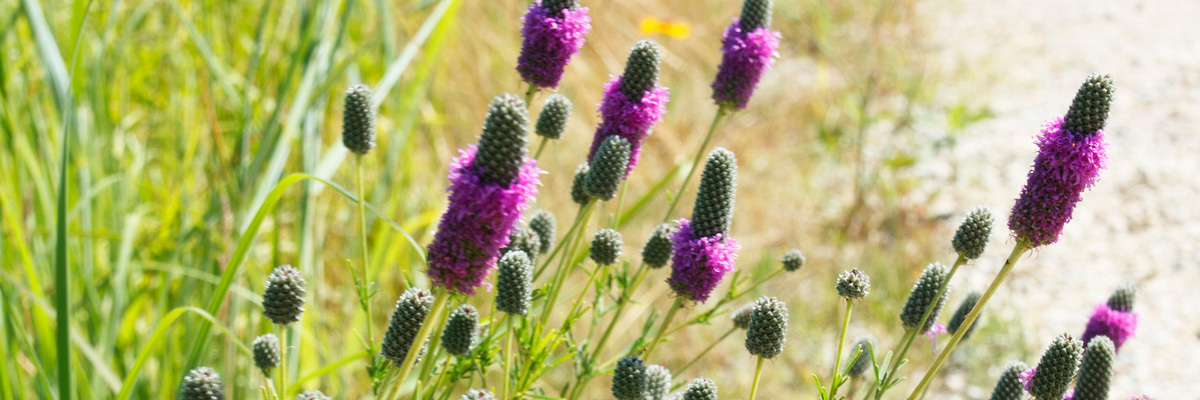 Purple prairie clover in bloom.