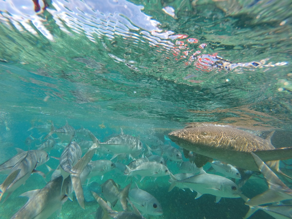 "A Nurse Shark seen among many large Horse eye jacks at Shark-Ray alley.<a href=""/reason/images/602326_orig.jpg"" title=""High res"">∝</a>"