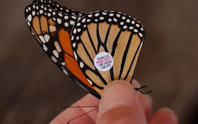 Monarch with migration tag