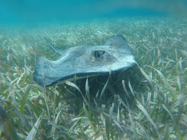"A stingray in the seagrass.<a href=""/reason/images/800349_orig.jpg"" title=""High res"">∝</a>"