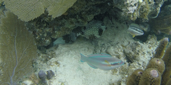 "Spotted Trunkfish (back), Rainbow Parrotfish (front)<a href=""/reason/images/670424_orig.jpg"" title=""High res"">∝</a>"