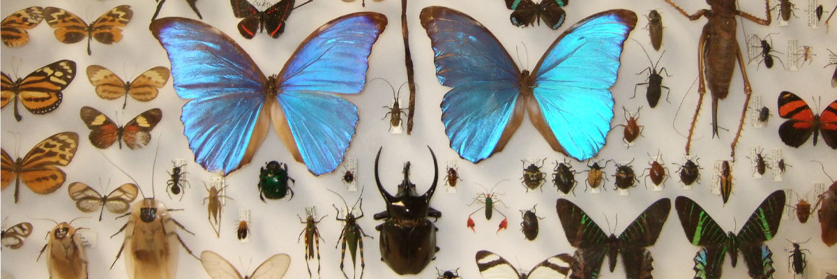 A collection of Ecuadorian insects located in the Luther College natural history museum.