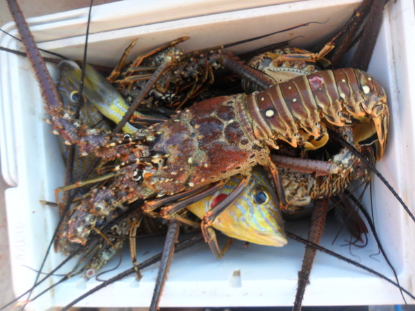 "Lobsters for our beach side grill out!<a href=""/reason/images/742465_orig.jpg"" title=""High res"">∝</a>"