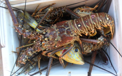 Lobsters for our beach side grill out!