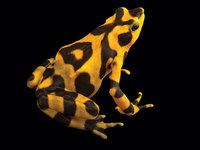 With markings similar to Panama's golden frog, this female variable harlequin toad (Atelopus varius) is the largest at EVACC and was caught in the wild in 2007. The goal is to breed a captive insurance colony of each species comprising 300 individuals, including 20 each of unrelated founding males and females.