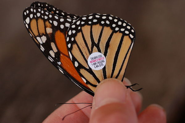 "Monarch butterfly<a href=""/reason/images/831566_orig.jpg"" title=""High res"">∝</a>"