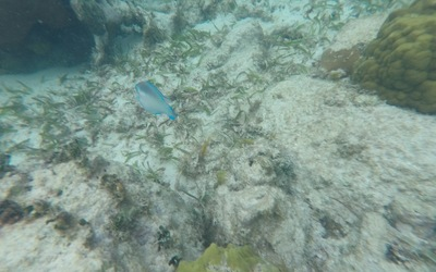 A terminal stage striped parrotfish among common fan coral.