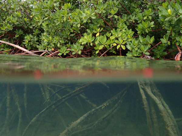 "A photo of Mangrove roots along Pigeon Creek.<a href=""/reason/images/800711_orig.jpg"" title=""High res"">∝</a>"
