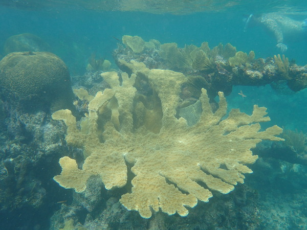 "An Elkhorn Coral with a Brain Coral in the background.<a href=""/reason/images/800713_orig.jpg"" title=""High res"">∝</a>"
