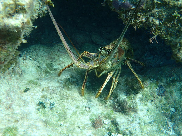 "A Spiny Lobster.<a href=""/reason/images/800725_orig.jpg"" title=""High res"">∝</a>"