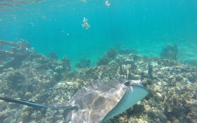 Southern Stingray seen at Mexican rocks.