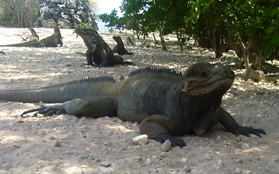 One of the many iguanas at Lago Enriquillo National Park.
