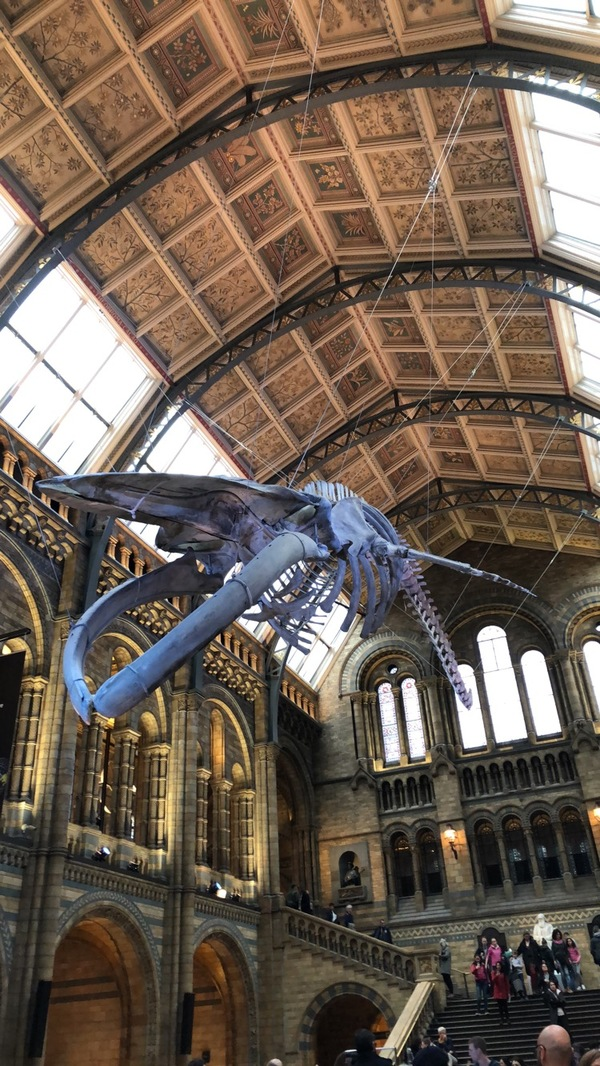 "126-year-old skeleton of a blue whale hanging in Hinze Hall.<a href=""/reason/images/813905_orig.jpg"" title=""High res"">&prop;</a>"
